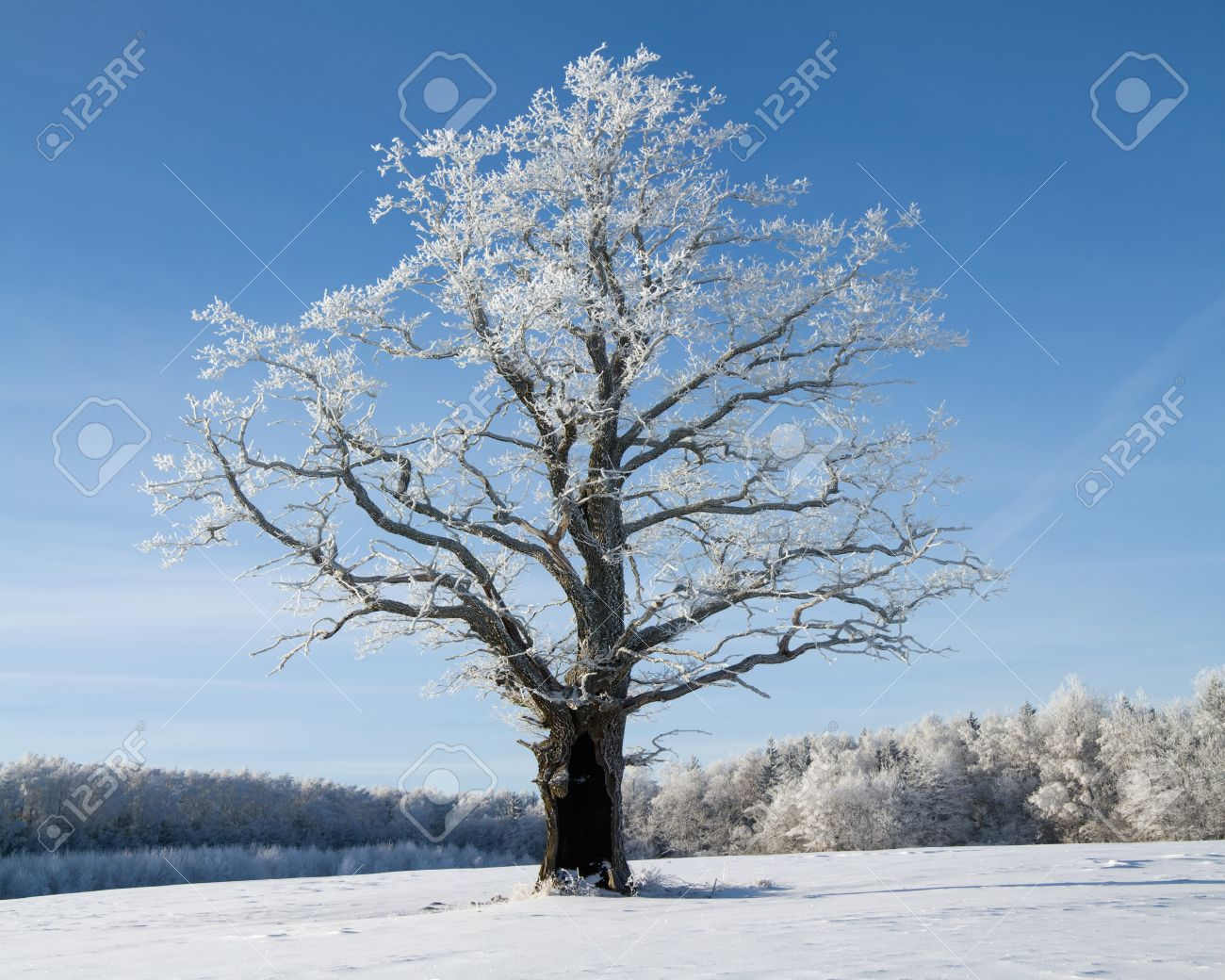 Зимний дуб