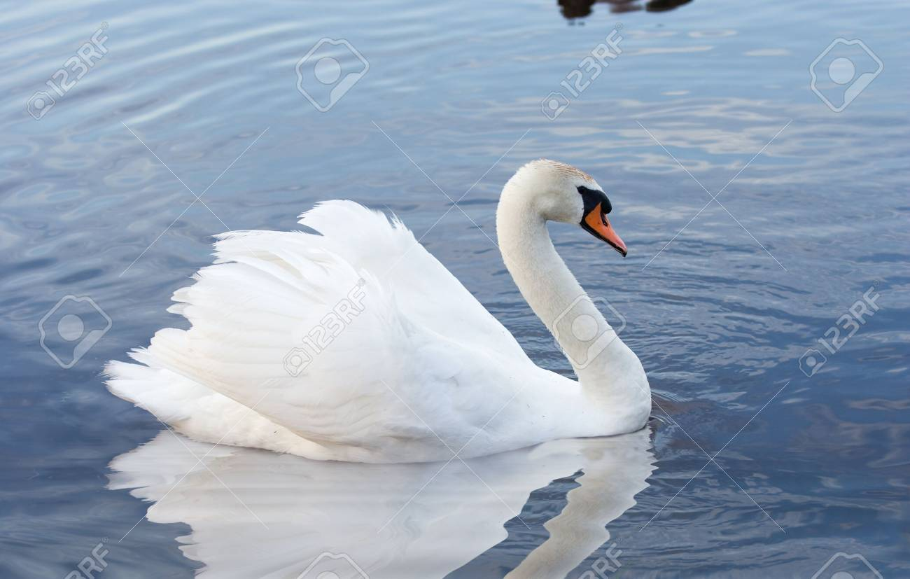 white  swan swimming in water Stock Photo - 10614743