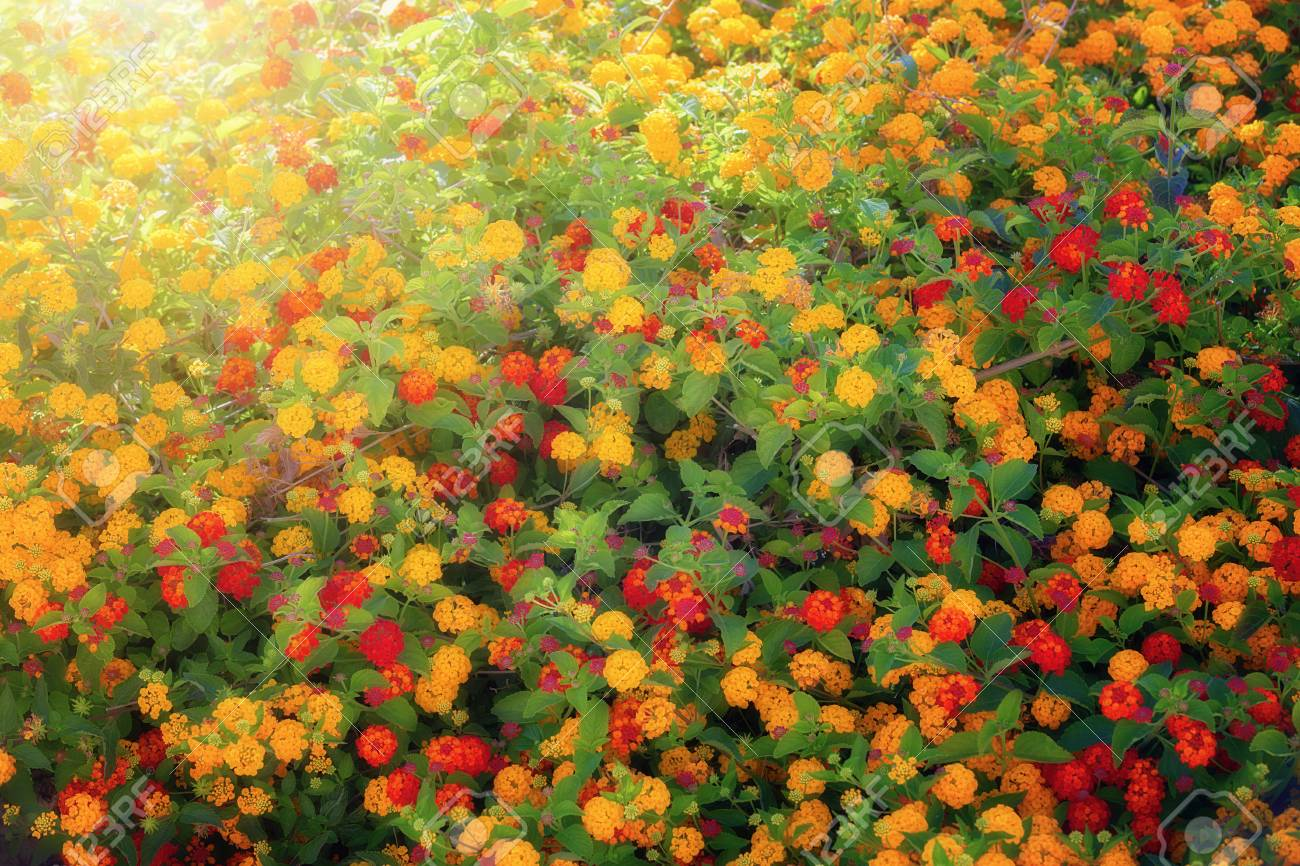 Bush Of Yellow And Red Flowers Stock Photo Picture And Royalty