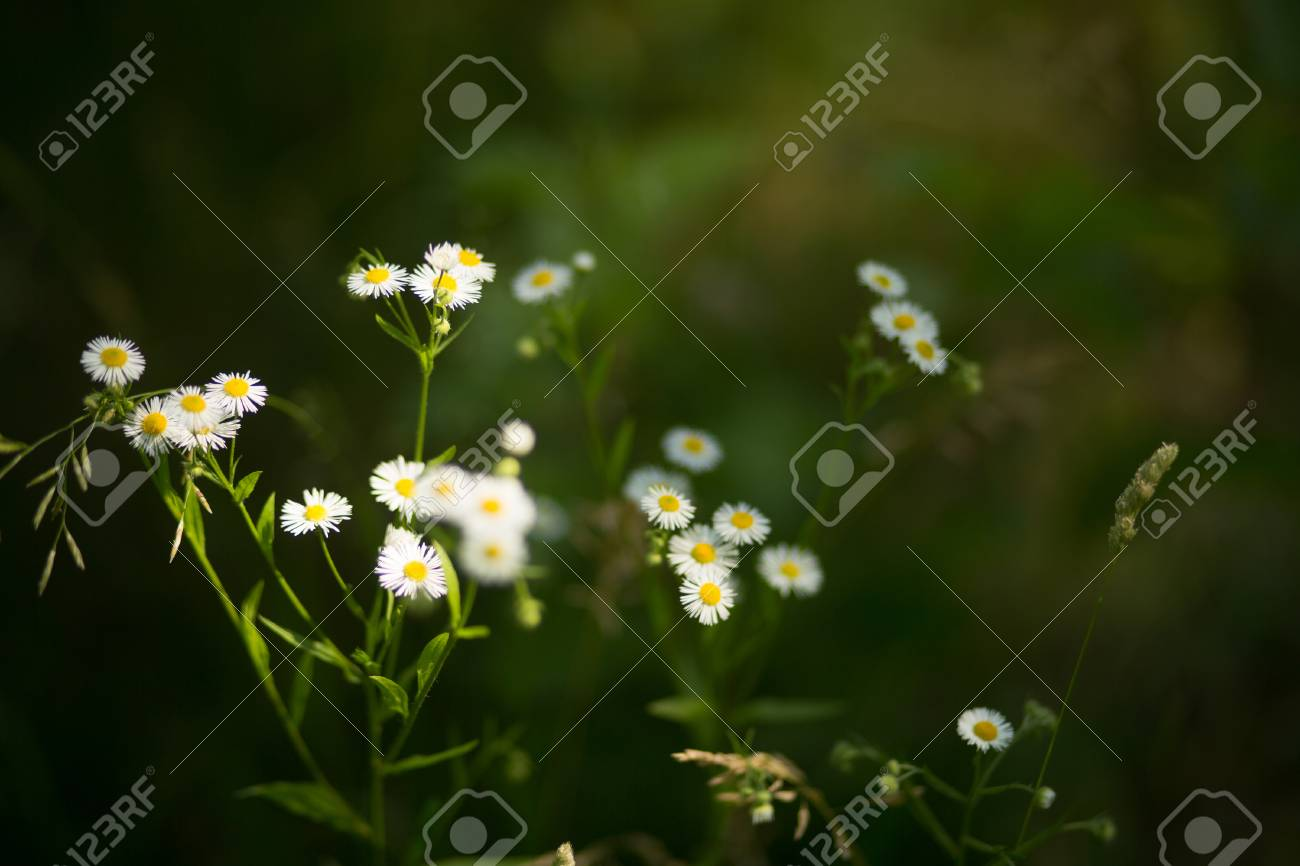 Picture Of Cute Little Daisy Flowers Small Pretty White Daisies