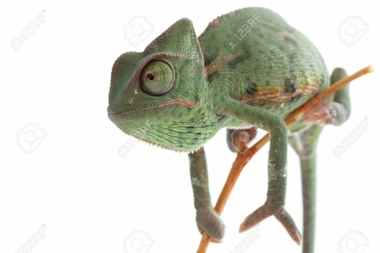 Baby chameleon posing in light tent macro focused on eyes Stock Photo - 8875411  sc 1 st  123RF Stock Photos & Baby Chameleon Posing In Light Tent Macro Focused On Eyes Stock ...