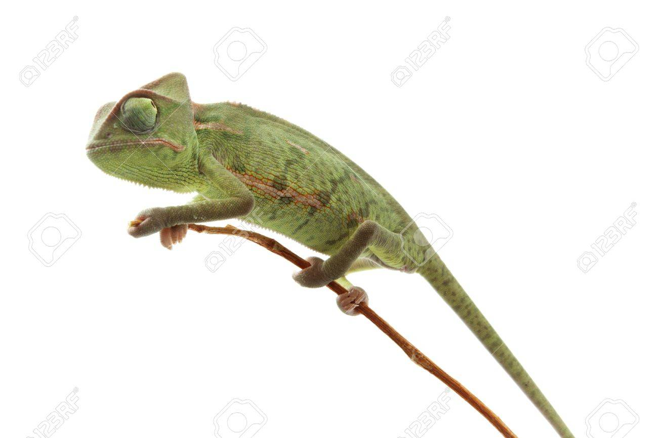 Baby chameleon posing in light tent macro focused on eyes Stock Photo - 8875370  sc 1 st  123RF Stock Photos & Baby Chameleon Posing In Light Tent Macro Focused On Eyes Stock ...