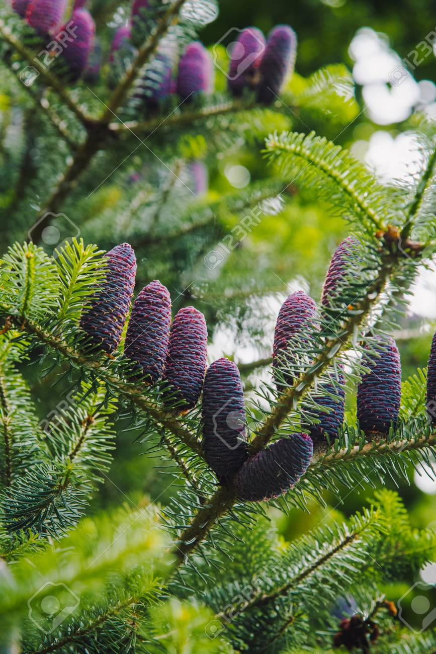Shallow Deep Of Field Purple Pine Cones On A Spruce Tree Stock Photo