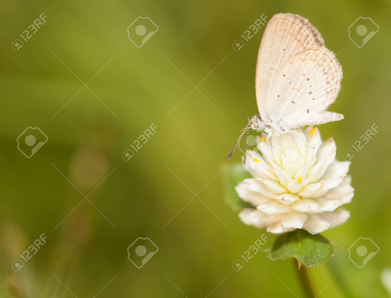 Pale grass blue butterfly with wild globe everlasting flower stock pale grass blue butterfly with wild globe everlasting flower stock photo 32609949 izmirmasajfo