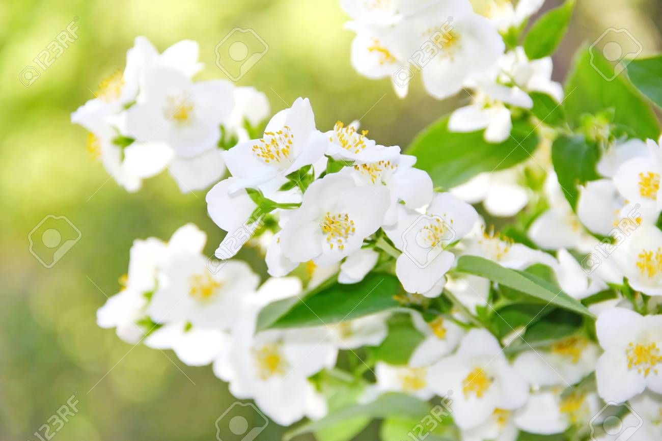 Branch Of Jasmine Flowers In The Springtime Stock Photo Picture And