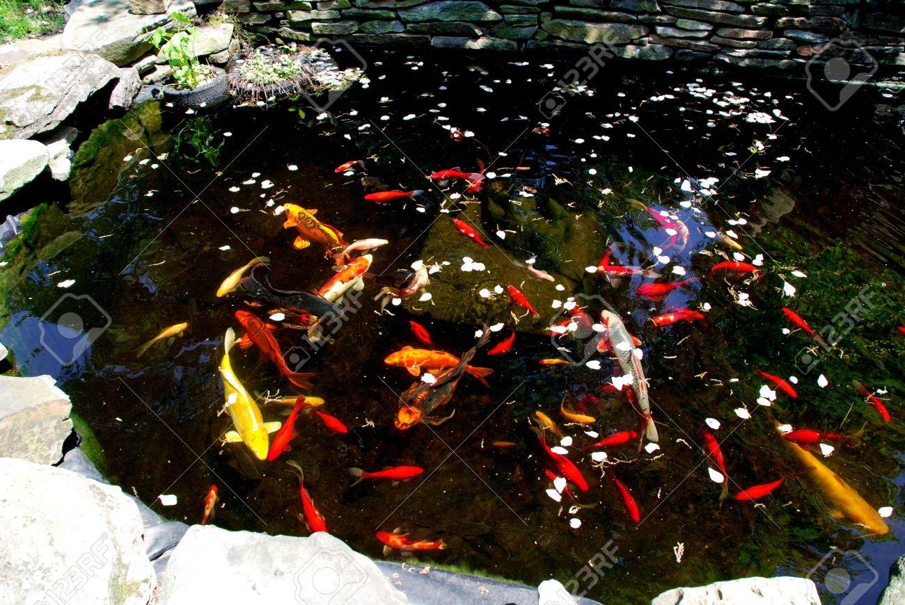 Estanque De Peces Existe Una Amplia Variedad De Peces Para Tener En - Estanques-peces