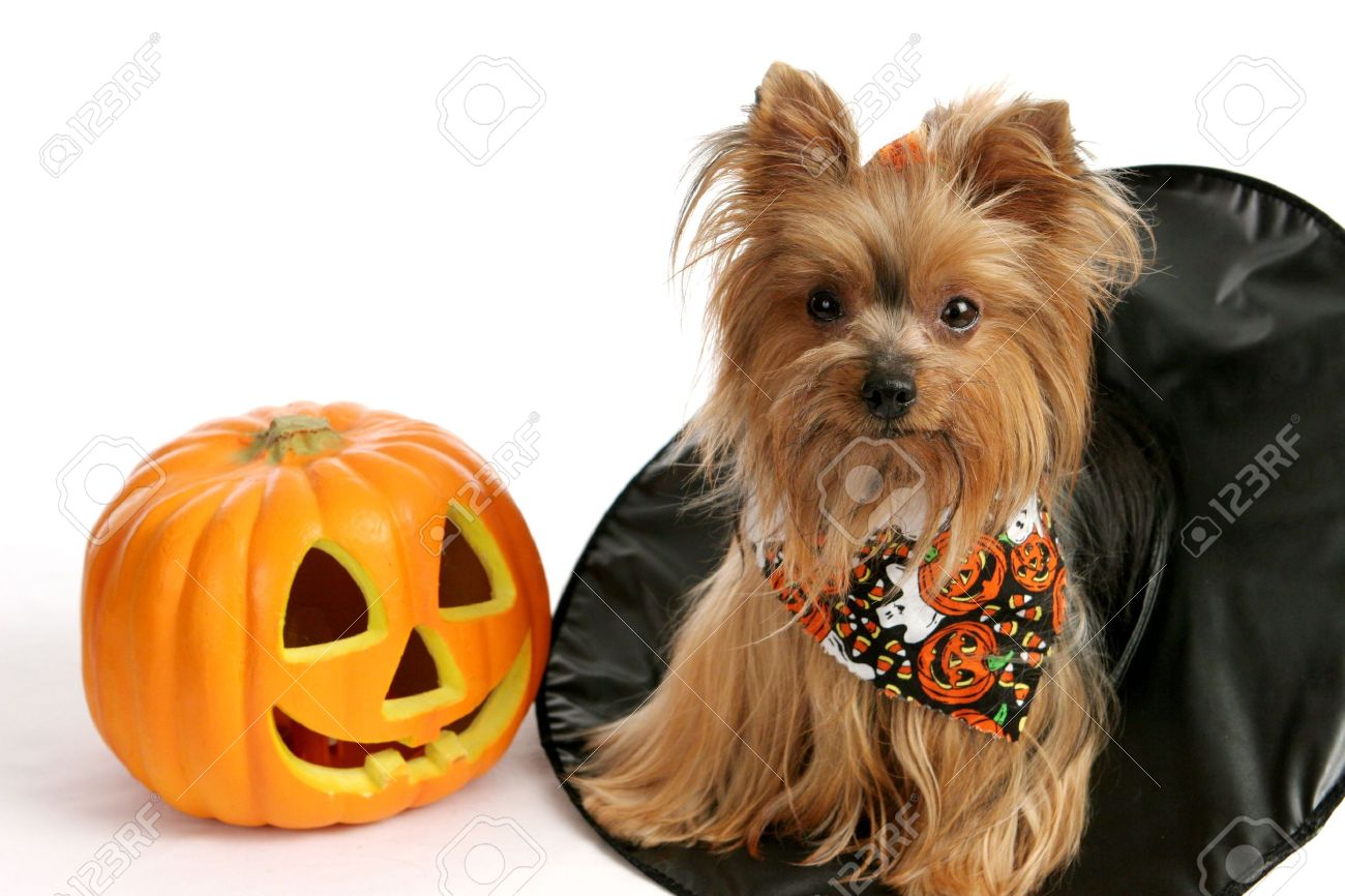 A Cute Yorkie Puppy Sitting In A Witches Hat Beside A Pumpkin