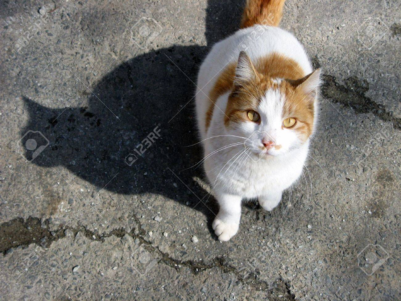 An orange and white stray cat looking at the camera and casting a perfect shadow on the asphalt. Stock Photo - 884690