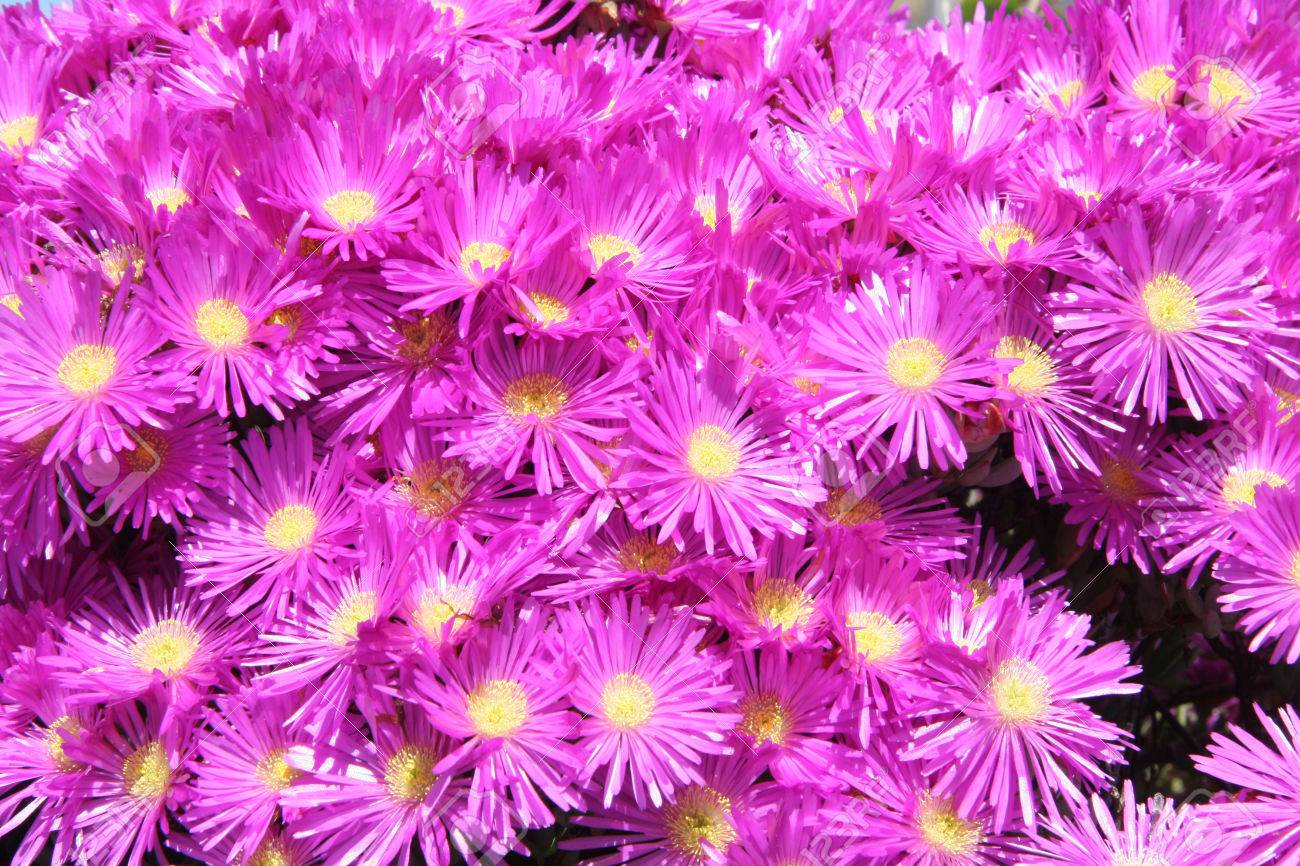 Hottentot fig marigold or ice plant which is a hot pink flower hottentot fig marigold or ice plant which is a hot pink flower with long thin petals mightylinksfo