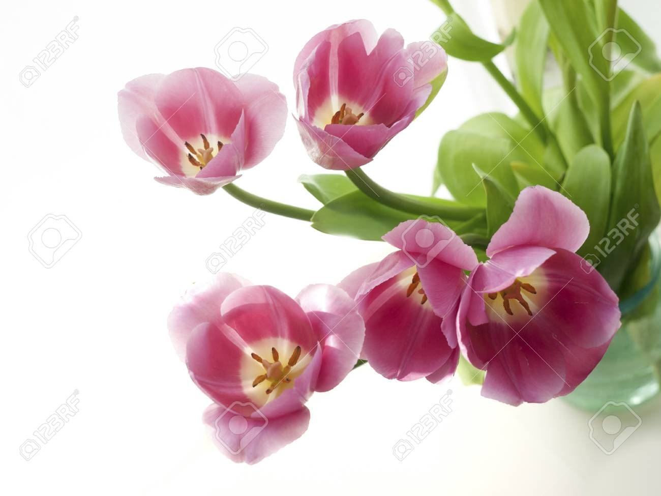 Red tulips on a white background with natural light Stock Photo - 13010858