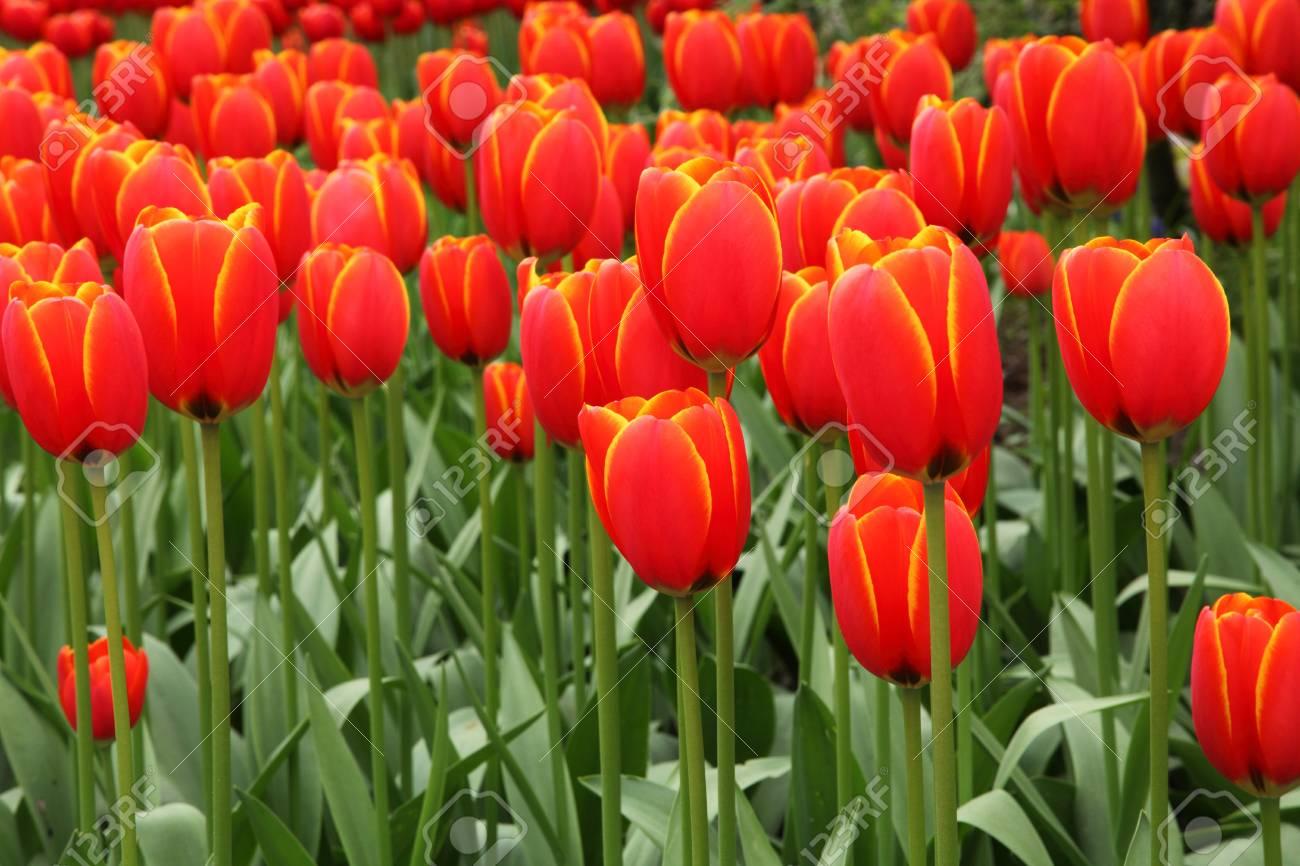 red tulip background image Stock Photo - 7154848