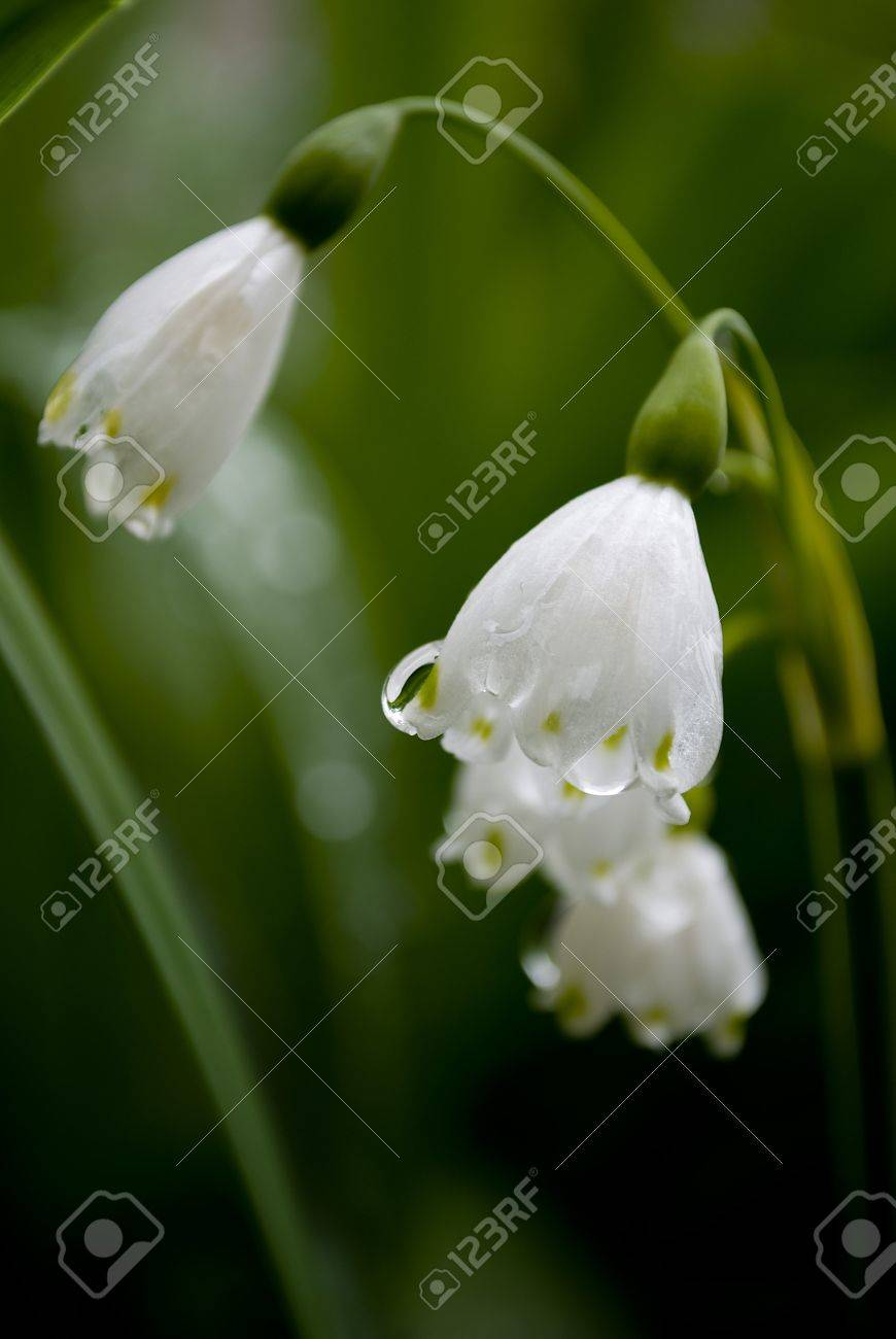 lilly of the valley flower in garden Stock Photo - 9454033