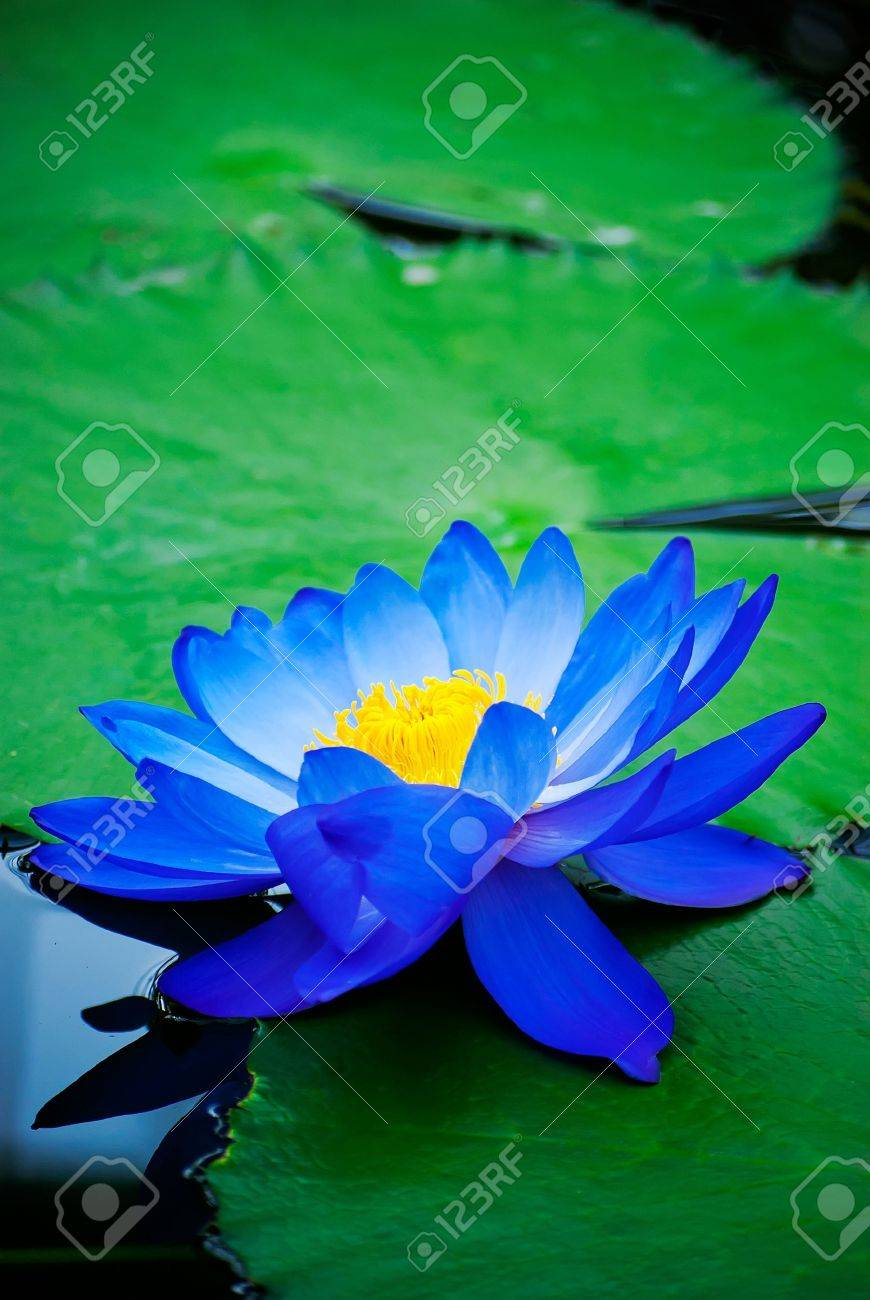 Blue lotus stock photos pictures royalty free blue lotus images blue lotus beautiful blue water lily in kew gardens london stock photo dhlflorist Images