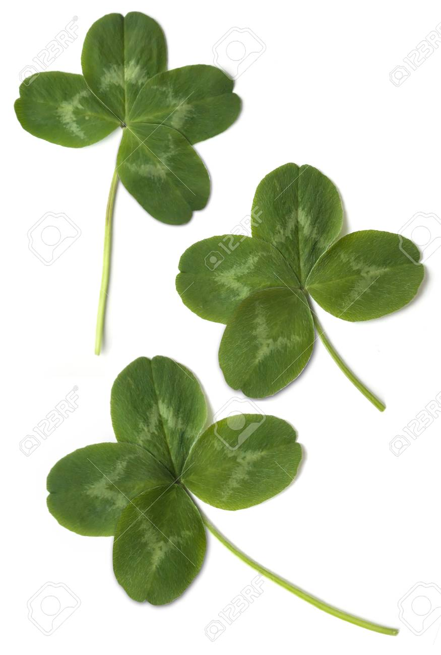four leaved clover isolated on white background Stock Photo - 18086555