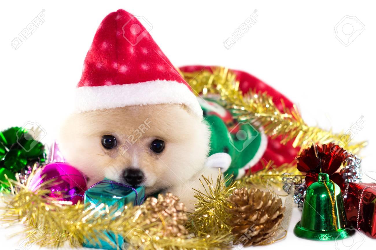 Christmas Puppies.Christmas Puppies White Pomeranian