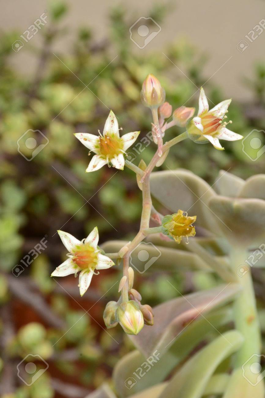 White And Yellow Succulent Flowers Stock Photo Picture And Royalty