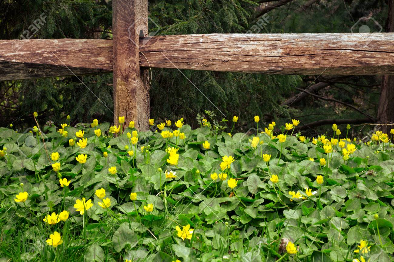 Pretty Yellow Flowers And Old Wood Fence Stock Photo Picture And