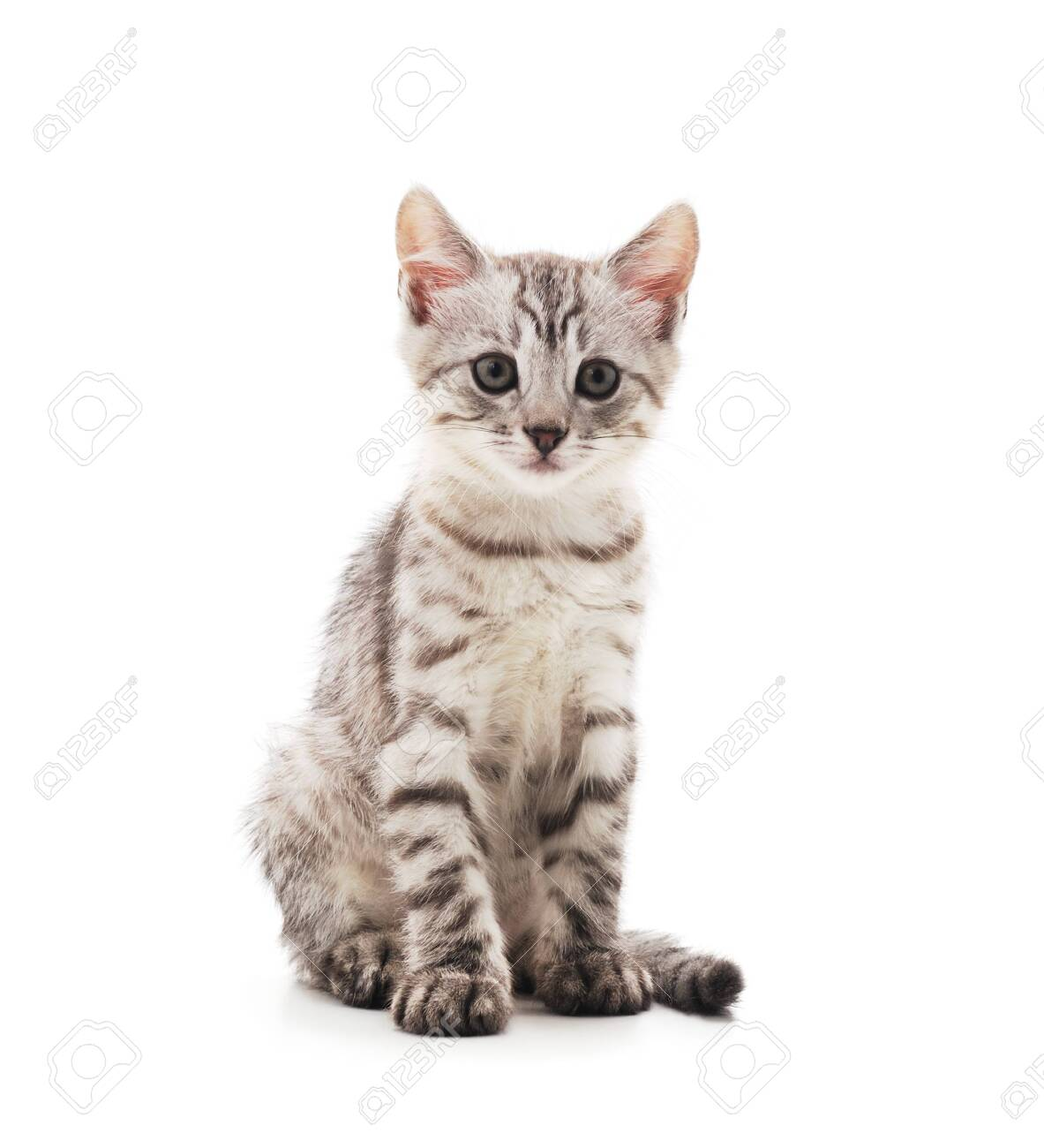 Little gray kitten isolated on a white background. - 134486578