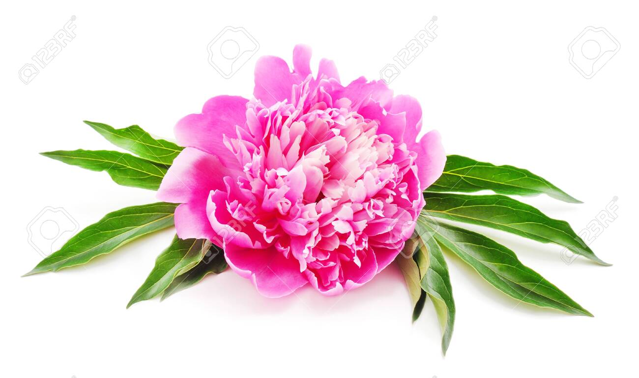 One pink peony isolated on a white background. - 141959907