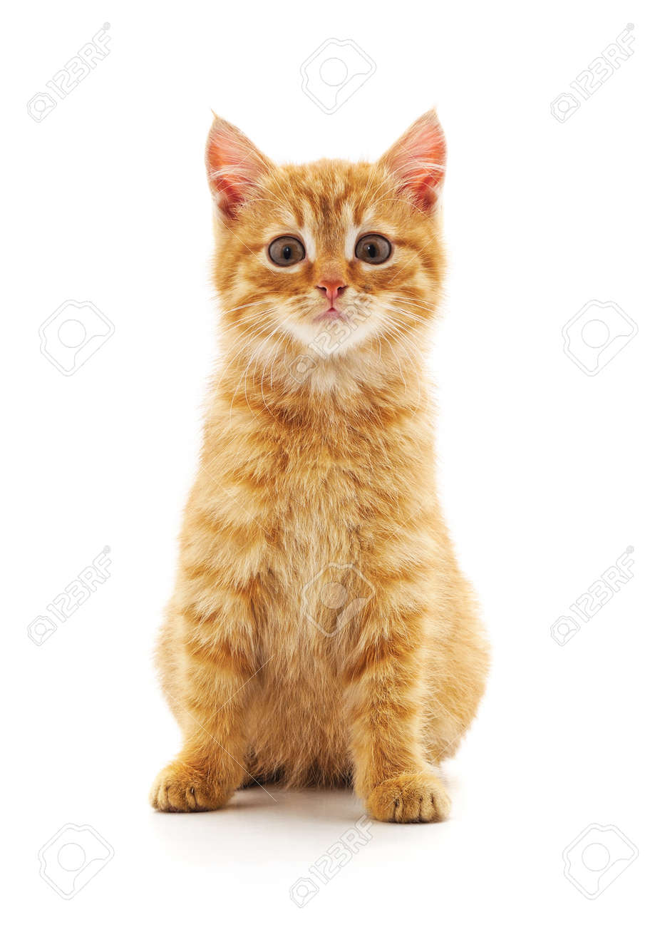 One red cat isolated on a white background. - 157303704
