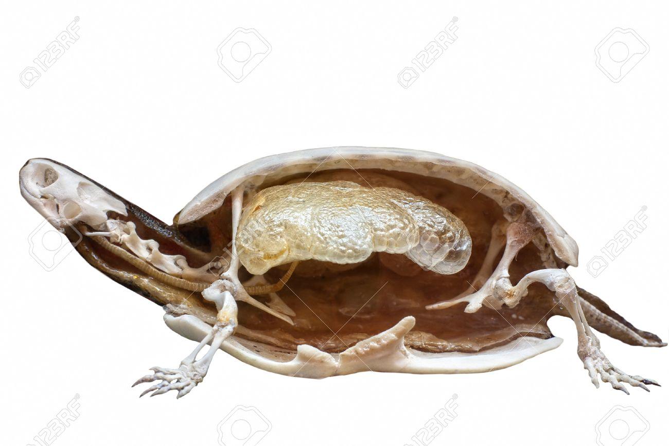 Sección De Tortuga Rellena Con Esqueleto Dentro Aislado En Blanco ...