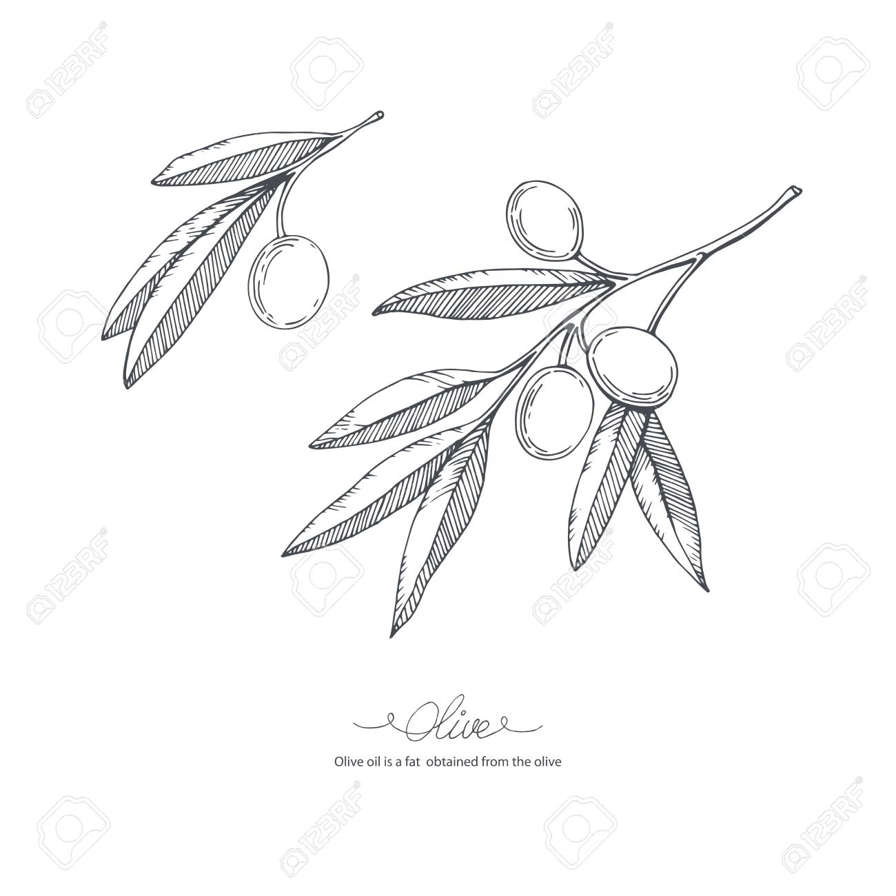 Hand Drawn Olive Branch Vector Sketch Illustration Royalty Free Cliparts Vectors And Stock Illustration Image 69812367