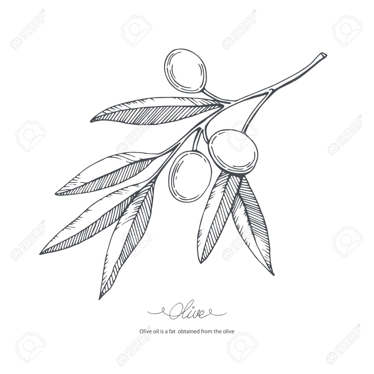 Hand Drawn Olive Branch Vector Sketch Illustration Royalty Free Cliparts Vectors And Stock Illustration Image 69812371