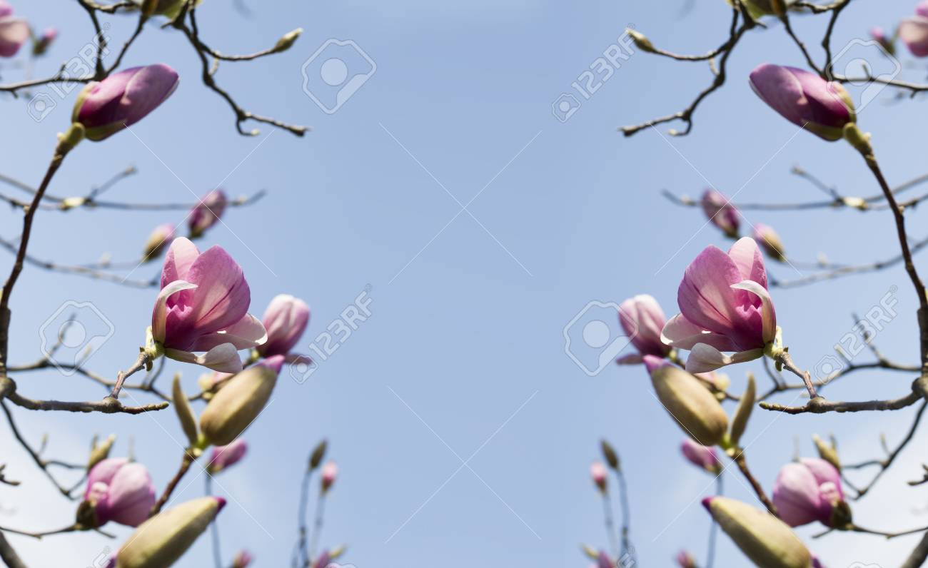 magnolia flowers against the blue sky spring pink flowers of
