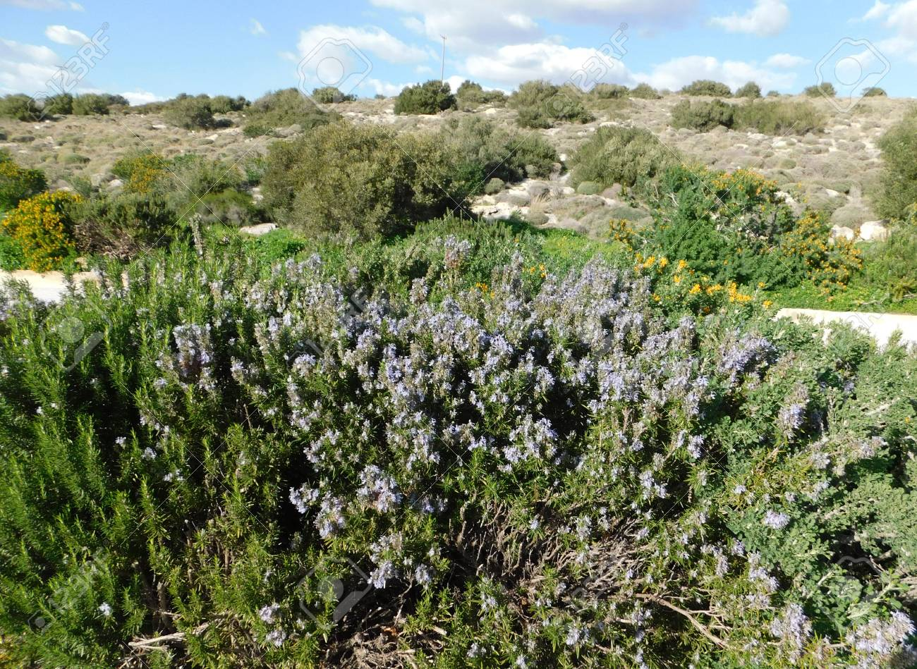 Rosemary plant or Rosmarinus officinalis  A wild herb with fragrant