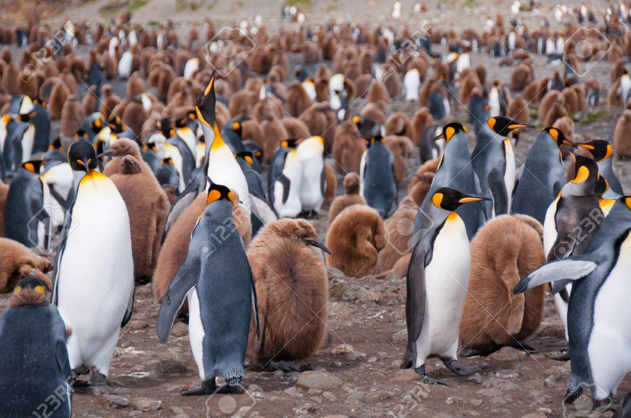 Thousands of king penguins with their newly hatched chicks populate their colony at Fortuna Bay,South Georgia Island. Stock Photo - 9462299