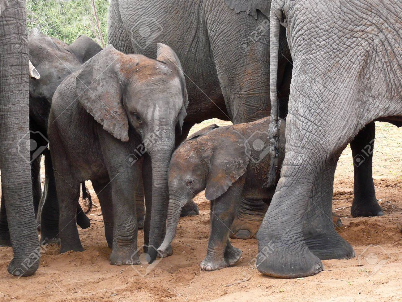 Baby Elephants protected by their herd in Botswana, Africa. Stock Photo - 10630145
