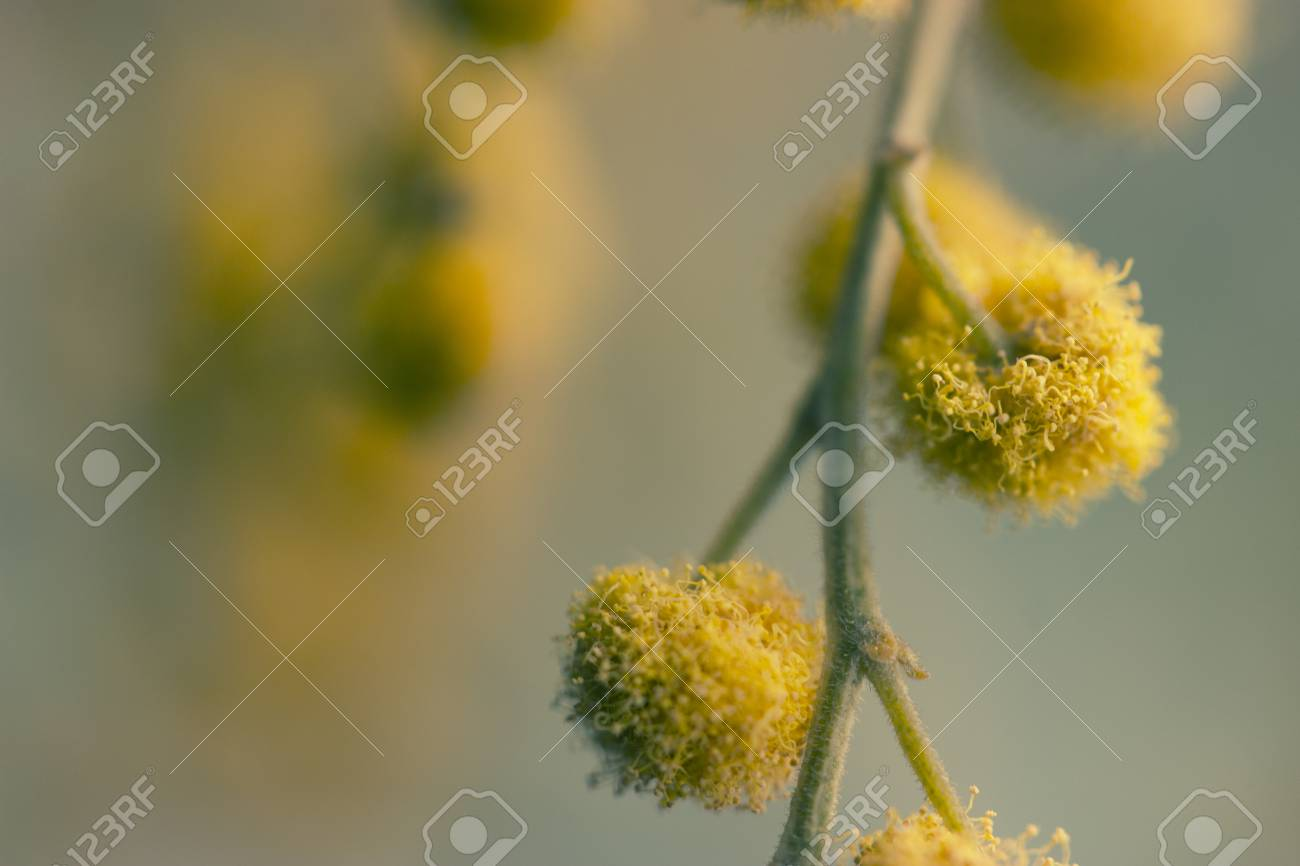Twigs Of Yellow Mimosa Flower Macro Shot Stock Photo Picture And
