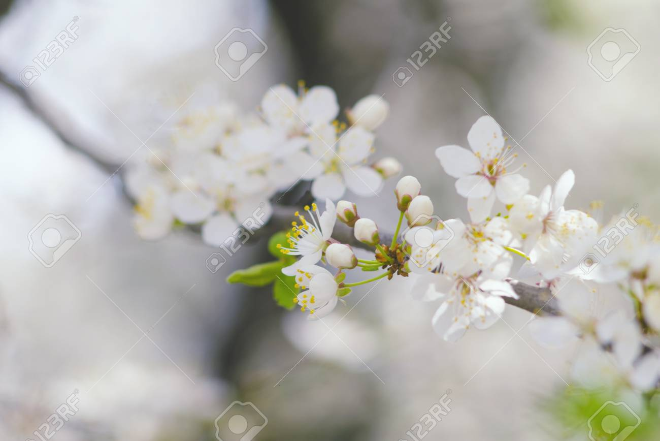 Spring Branch Of A Tree With Blossoming White Small Flowers On