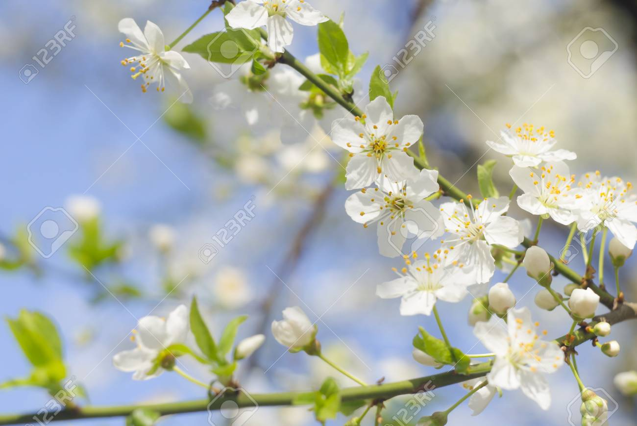 Fiori Bianchi Di Primavera.Immagini Stock Primavera Bella Melo In Fiore O Ciliegio Rami