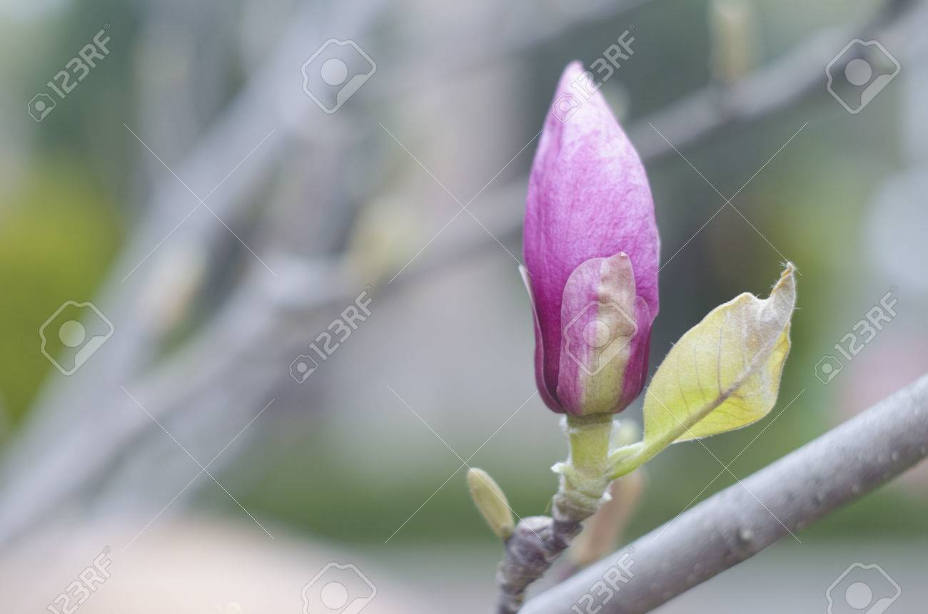 Spring magnolia pink buds on a branch of a tree blossom magnolia spring magnolia pink buds on a branch of a tree blossom magnolia flower in nature izmirmasajfo