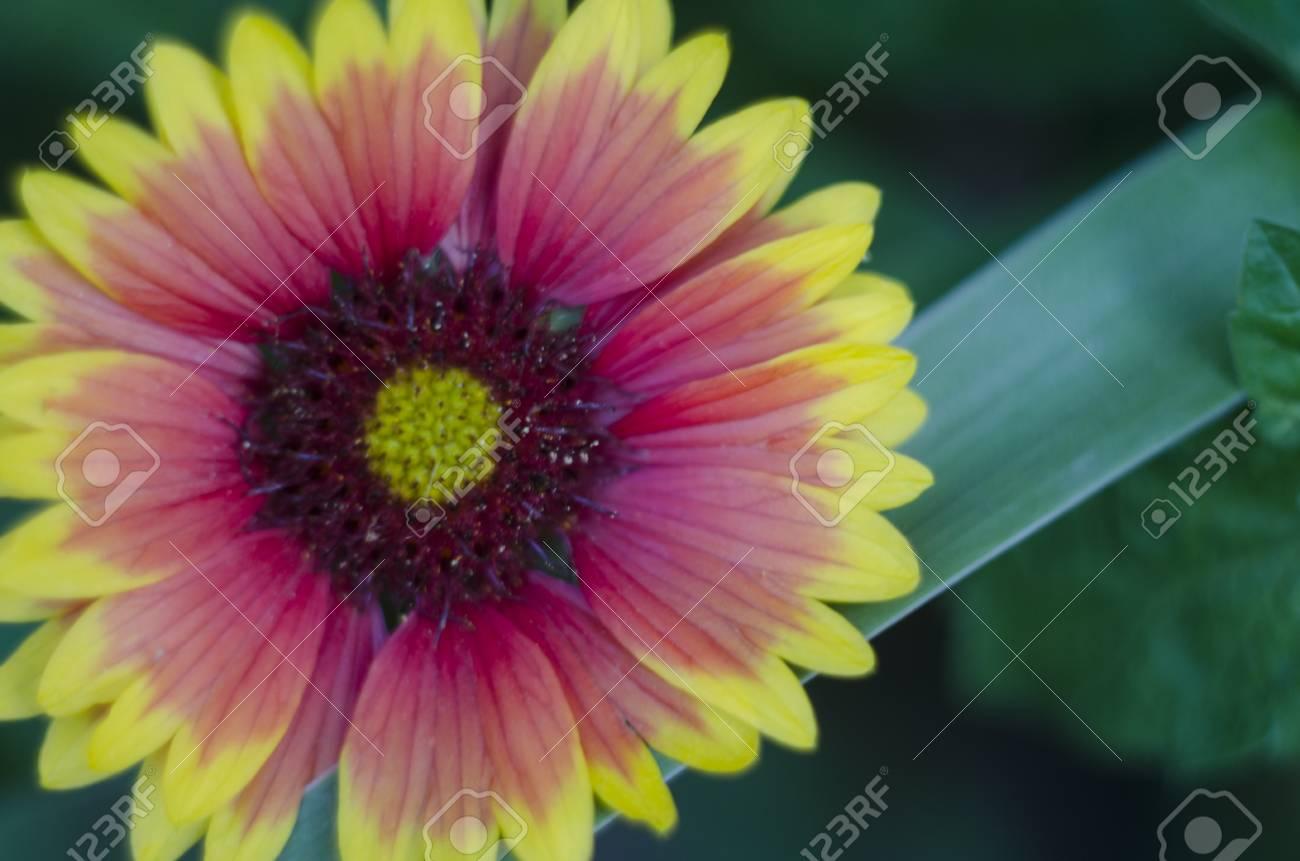 Gaillardia Aristata Flower In The Garden Orange And Yellow Summer