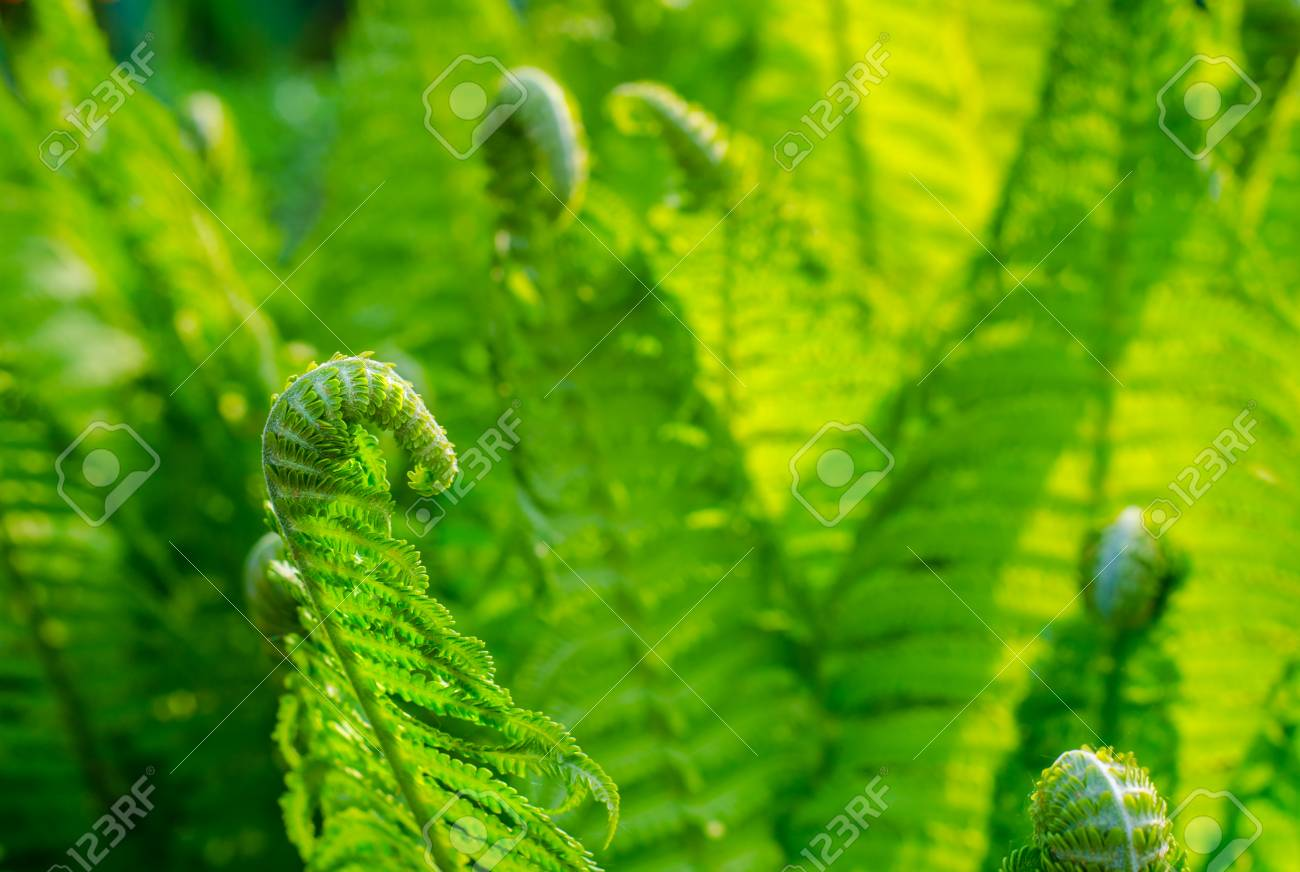 Fern Young Green Shoots Of Ferns Plants In Nature Spring Season