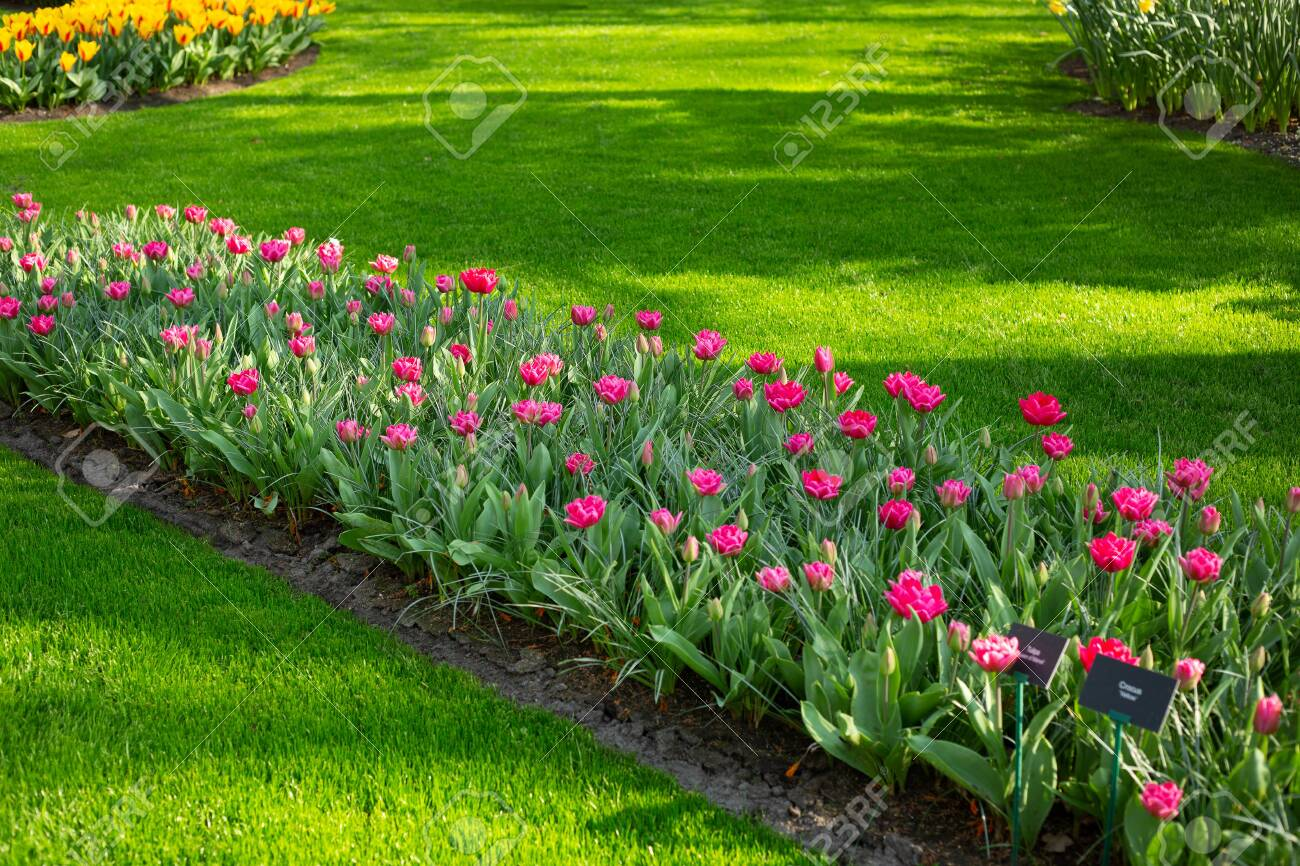 Green lawn, flowerbed with beautiful pink tulips. Spring tulips flowers in park. Sunny day. Copy space for text - Image - 141292279