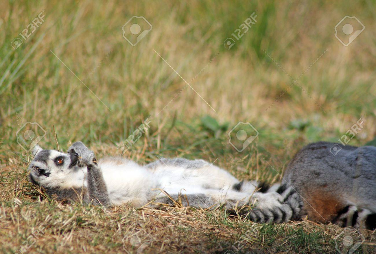 Sun Bathing Ring Tailed Lemur Stock Photo, Picture And Royalty Free ...