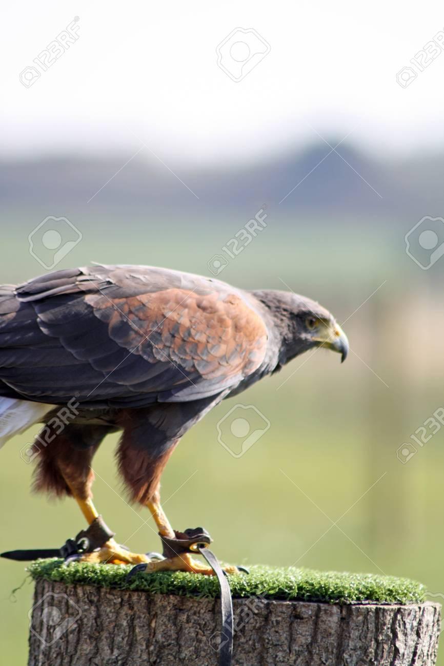 bird of prey Stock Photo - 11890797