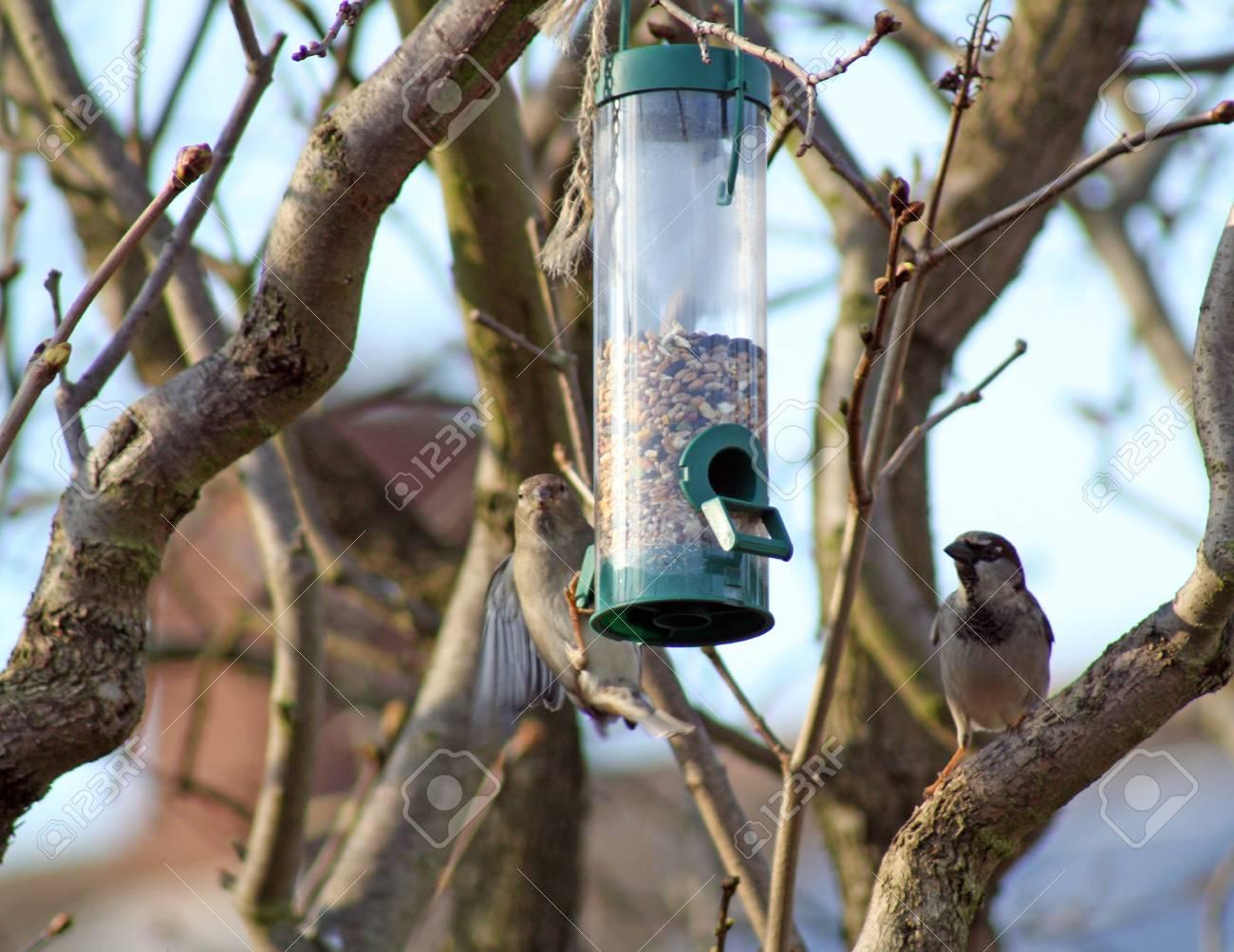 house sparrow Stock Photo - 12354356