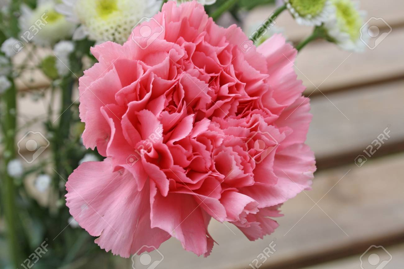 Carnation Flower Stock Photo, Picture And Royalty Free Image. Image ...