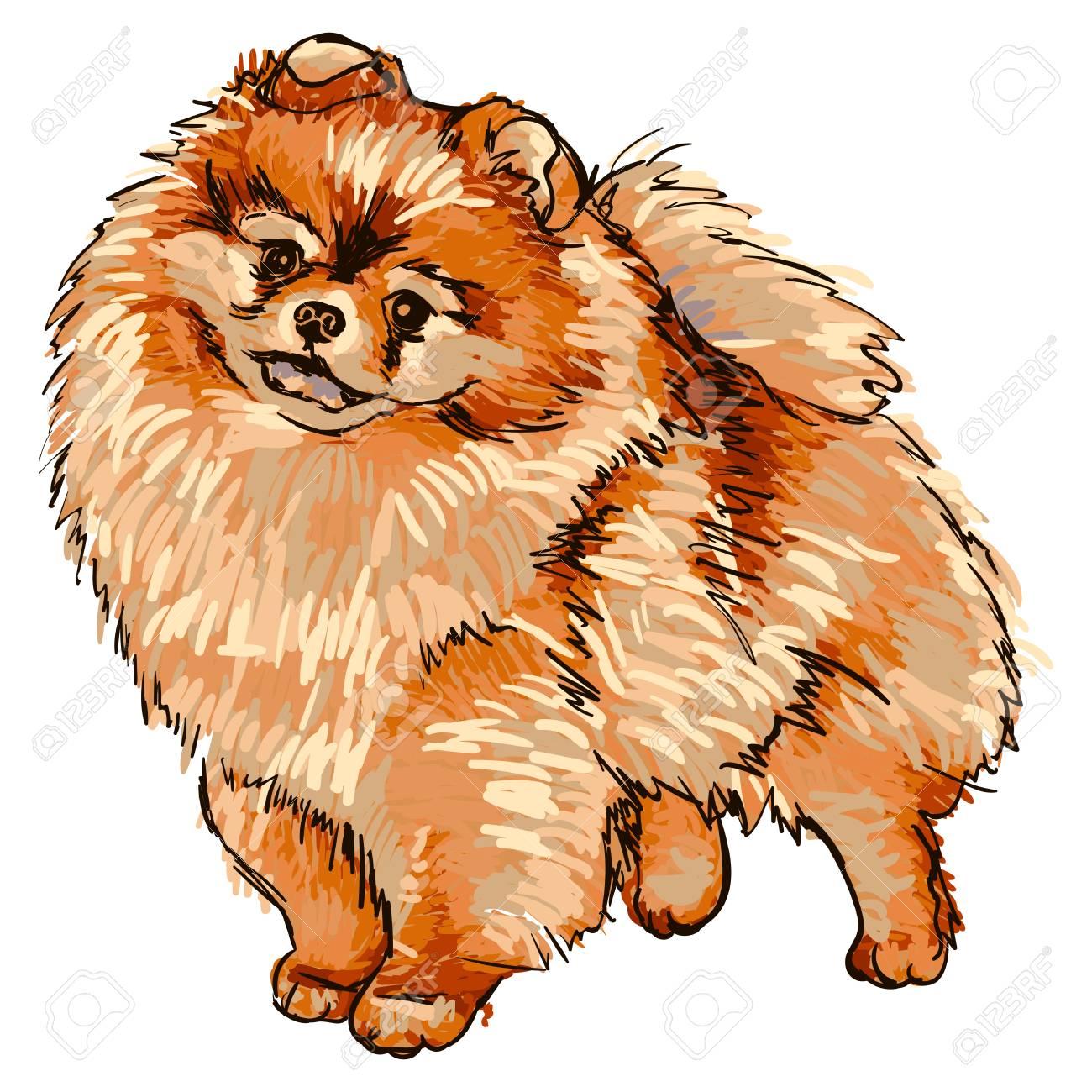 Ilustración De La Raza De Perro Pomerania Ilustraciones Vectoriales ...