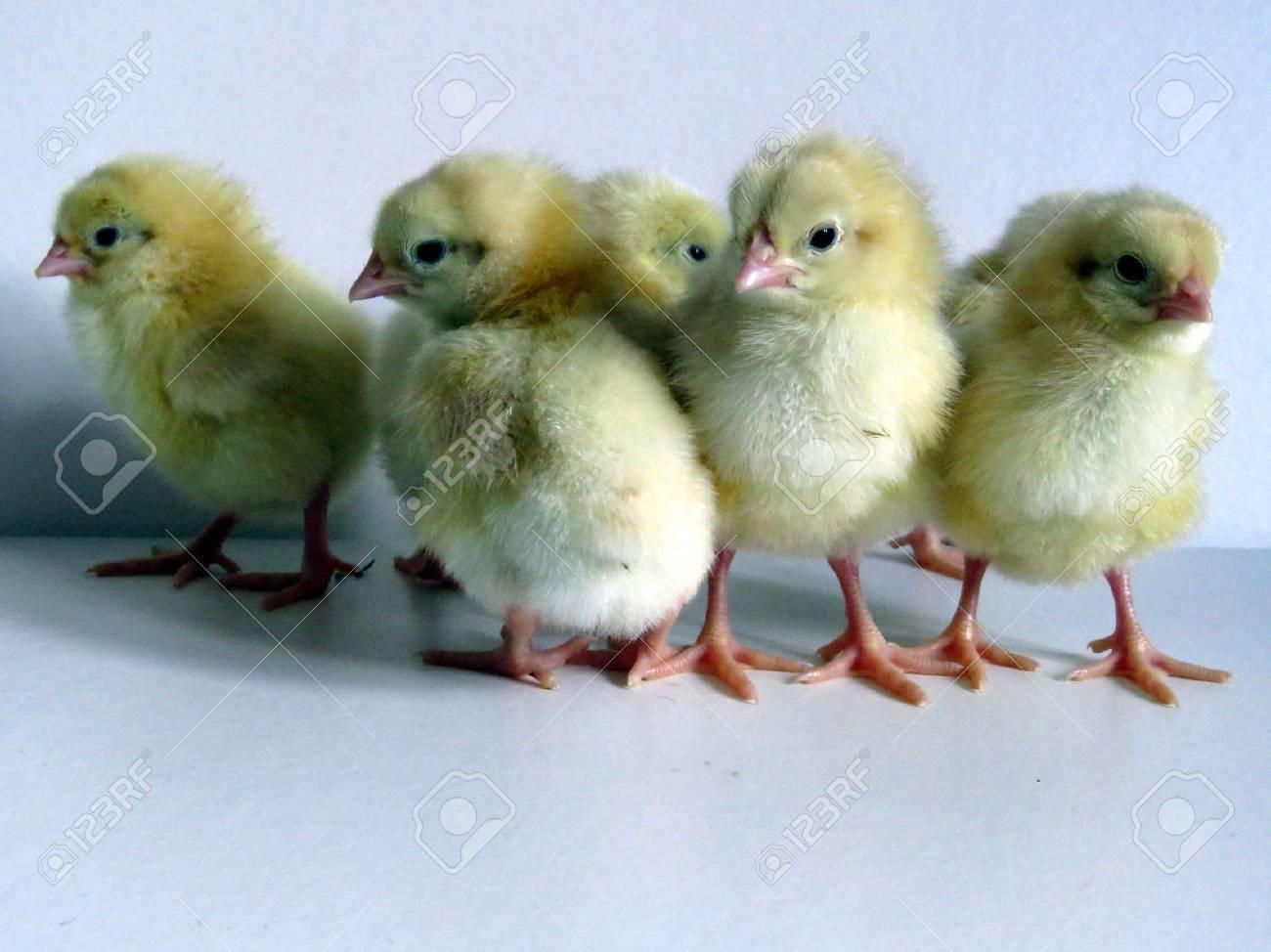 Baby Chicks Standard-Bild - 41695430