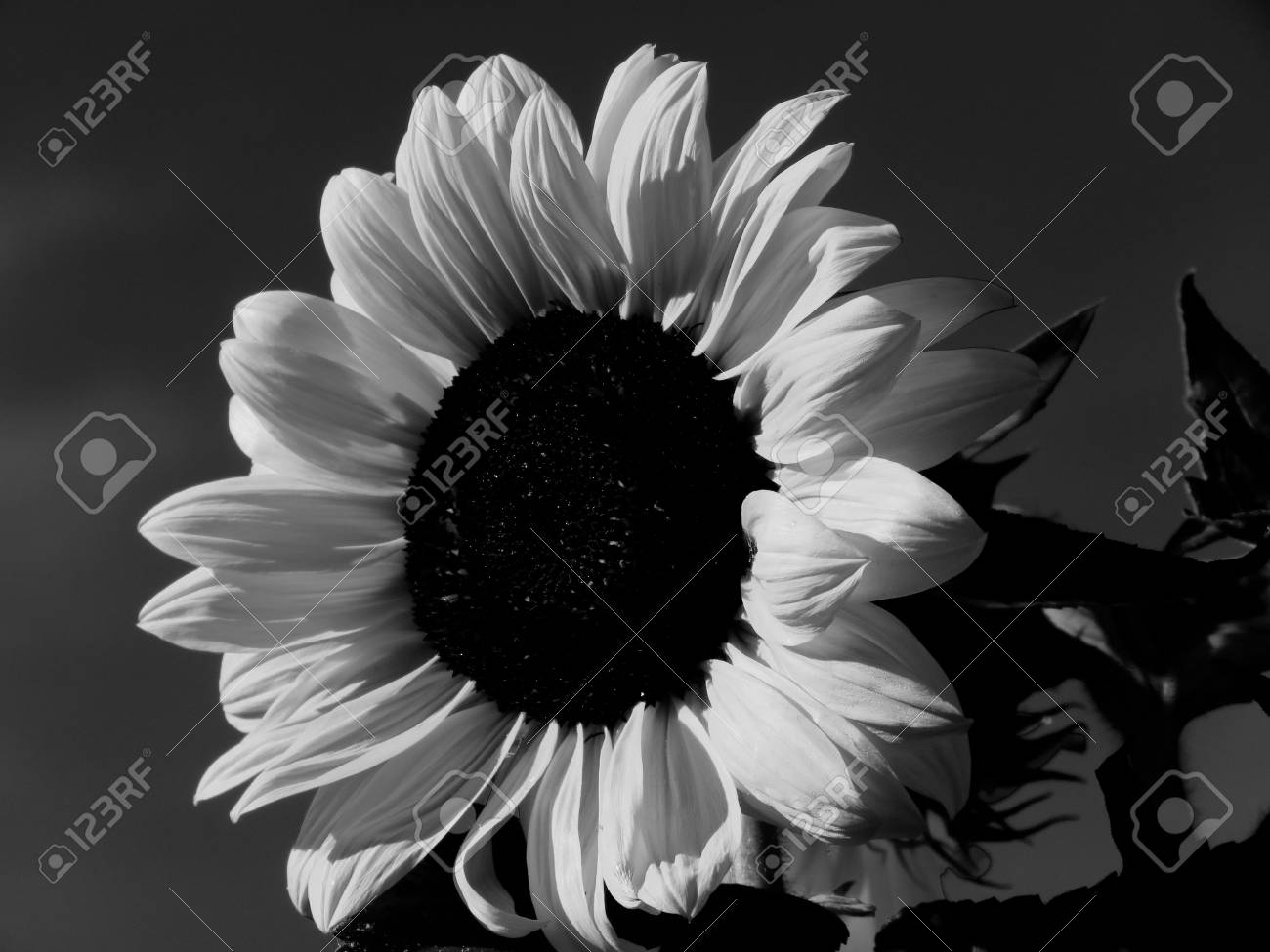 Close up of a sunflower in black and white