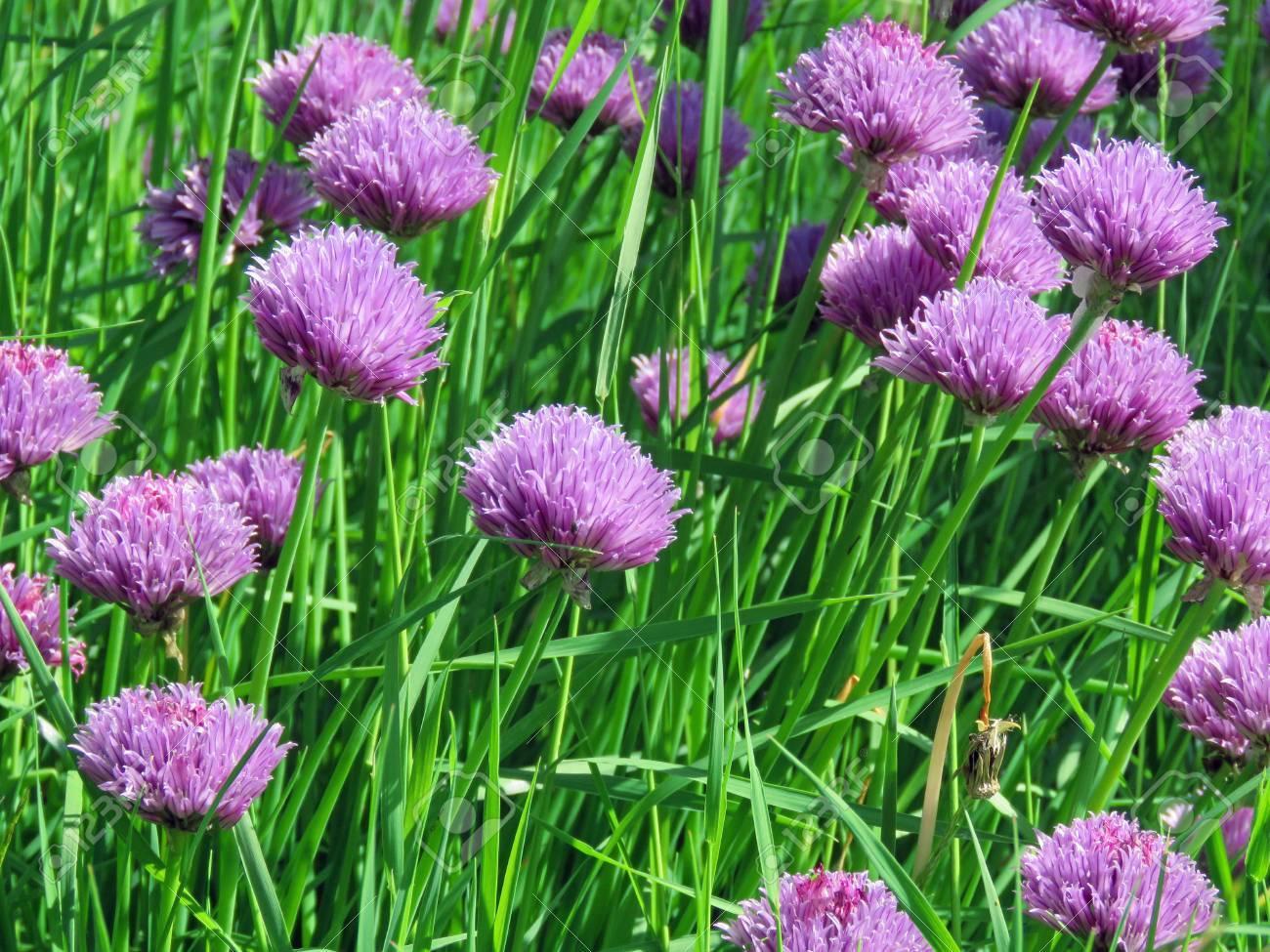 Fleurs De Ciboulette Dans Un Décor De Jardin Banque Dimages Et