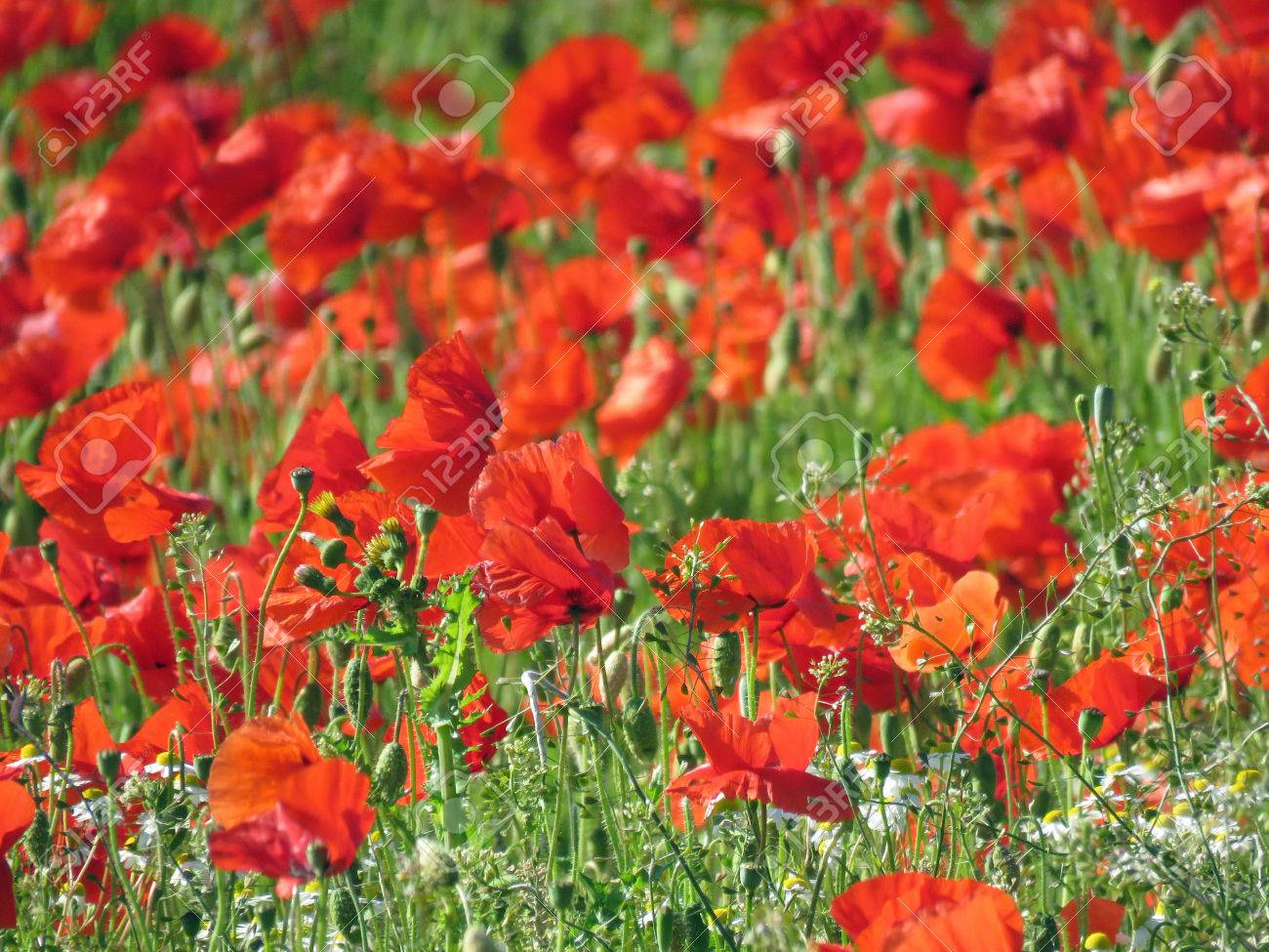 A meadow full of poppies and grasses in rural English countryside Standard-Bild - 82552569