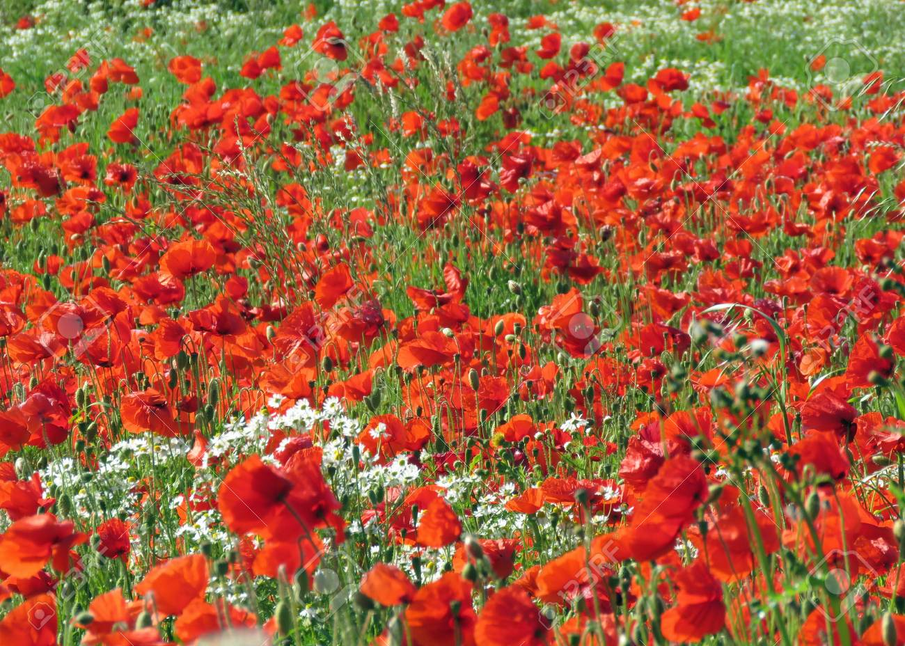 A meadow full of poppies and grasses in rural English countryside Standard-Bild - 81777898