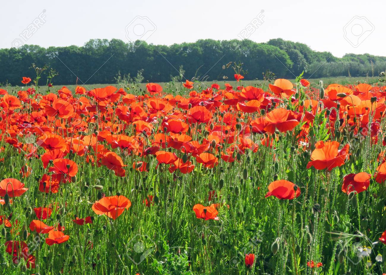 A meadow full of poppies and grasses in rural English countryside Standard-Bild - 81835453