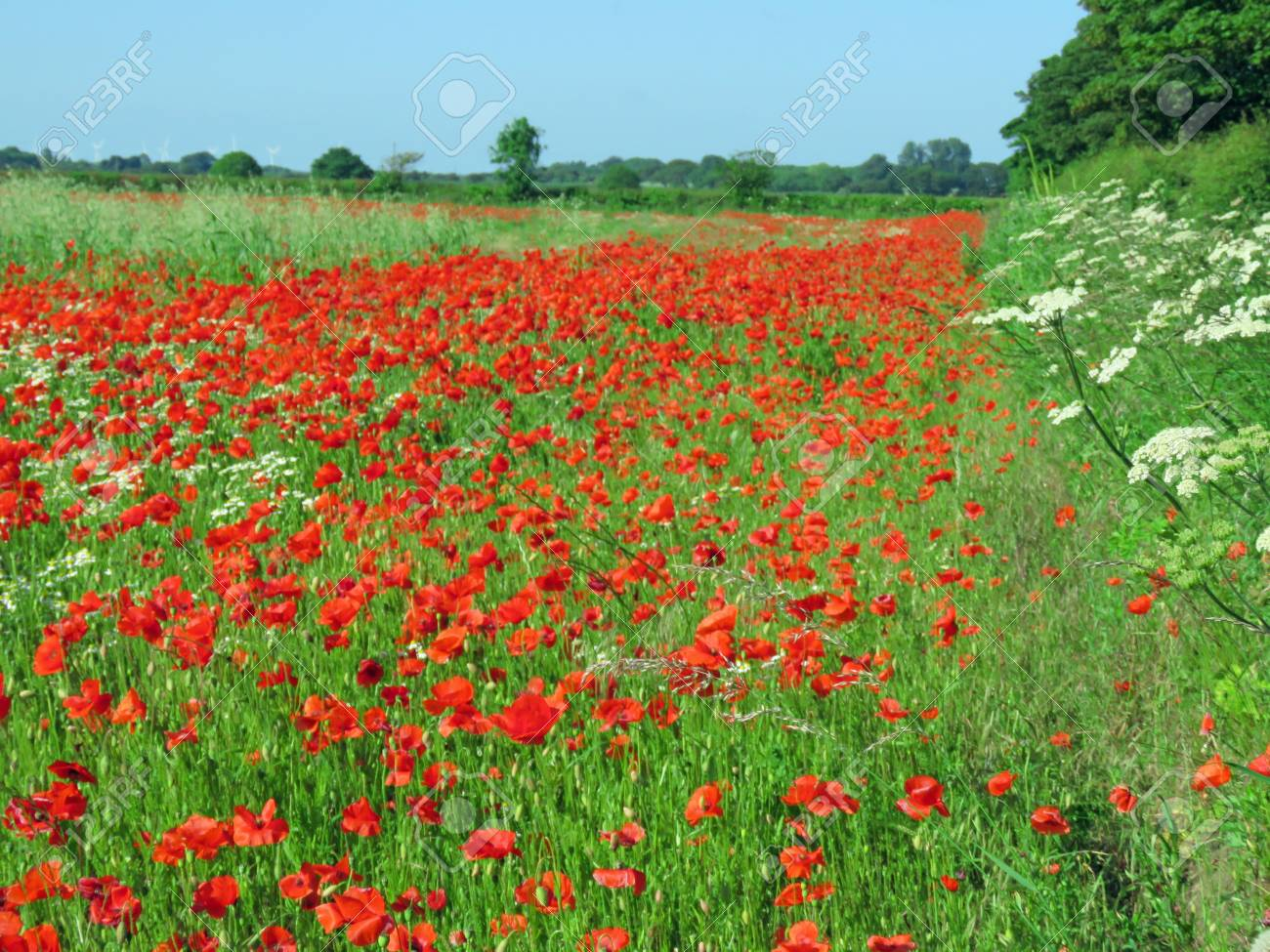 A meadow full of poppies and grasses in rural English countryside Standard-Bild - 81835532